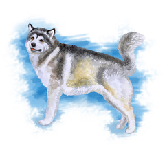 Watercolor closeup portrait of large Alaskan Malamute breed dog isolated on blue abstract background. Large longhair working sled dog. Hand drawn sweet home pet. Greeting card design. Clip art
