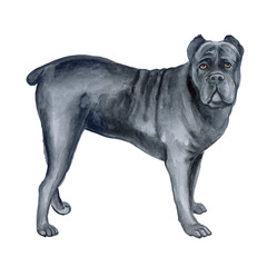 Watercolor closeup portrait of large Cane Corso breed dog isolated on white background. Large shorthair working guard dog from Italy. Hand drawn sweet home pet. Greeting birthday card design. Clip art
