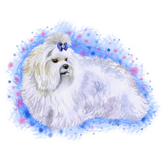 Watercolor closeup portrait of small Maltese breed dog isolated on abstract background. Small longhair Italian origin toy dog. Maltese lion dog. Hand drawn sweet home pet greeting card design clip art