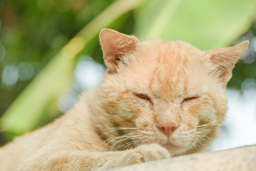 Portrait yellow cat sleeping on the blister