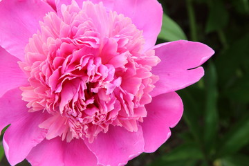 beautiful red flower peony on a background of leaves