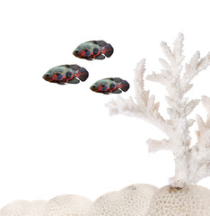 three dark isolated fishes near light coral