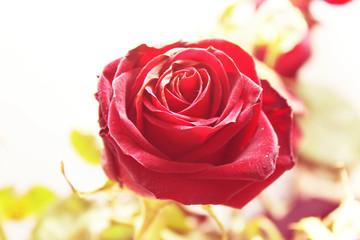 closeup photo of a red rose