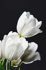 beautiful bouquet of white tulips on a dark background  vertical