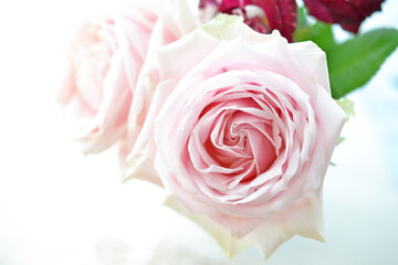 ピンクの大輪のバラ