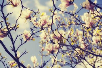 magnolia blossoms in spring, vintage version
