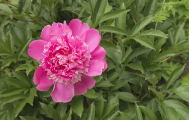 Red peony on background green sheet