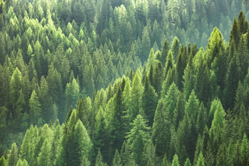 Autocollant pour porte Forets Healthy green trees in a forest of old spruce, fir and pine