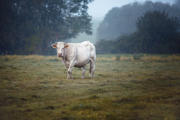 Fotobehang Koe Charolais cattle on the Pasture in Brittany France