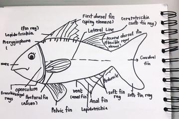 Anatomy of a fish sketchup