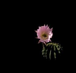 fiore di pianta grassa echinopsis