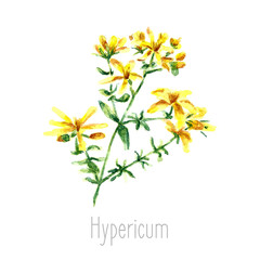 Watercolor hypericum herbs.