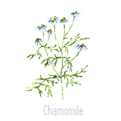 Watercolor chamomile herbs.