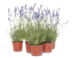 lavender in studio
