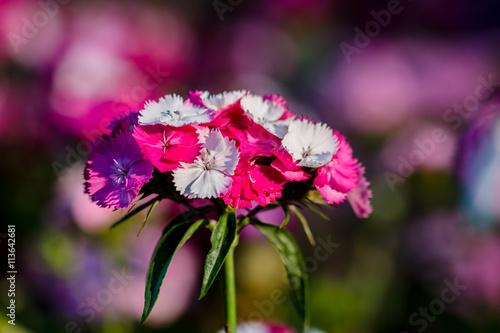Illet de po te stock photo and royalty free images on - Oeillets de poete ...