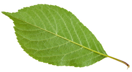 back side of Prunus padus green leaf isolated