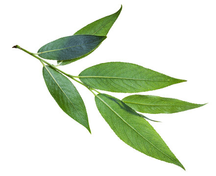 branch with green leaves (back side) of willow