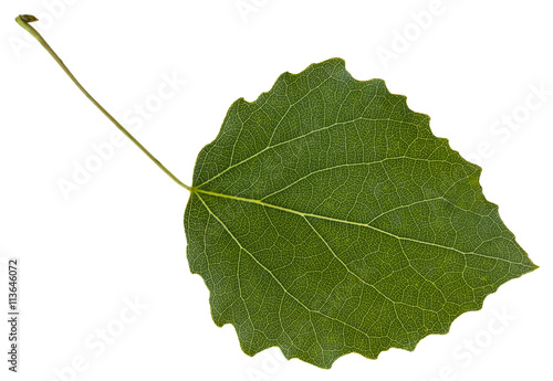 leaf of aspen populus tremula tree isolated stockfotos. Black Bedroom Furniture Sets. Home Design Ideas