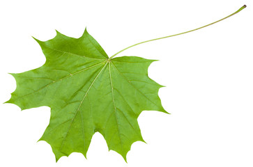 back side leaf of maple tree (Acer platanoides)