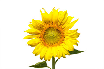 sunflower blooming on white background