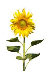 sunflower blooming isolate on white background
