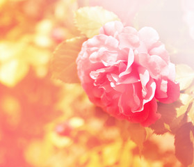 Beautiful rose flower on bush in garden, with color filter