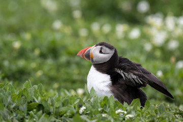 Wall Mural - Puffin lying beside burrow showing wings, surrounded by green vegetation.