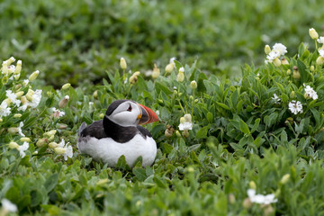 Wall Mural - Puffin lying beside burrow surrounded by green vegetation.