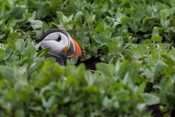 Wall Mural - Puffin sitting in burrow with only head showing through green vegetation.