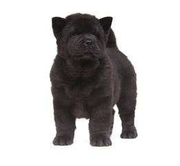 Fototapete - black chow-chow puppy