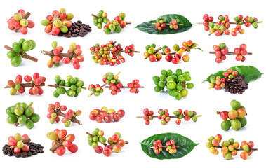 Collection of Red coffee beans on a branch of coffee tree, ripe