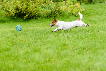 Side view of dog running and chasing a ball, playing at back yard
