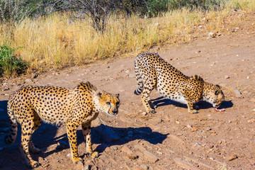 Feeding a family of cheetahs