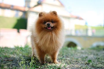 Pomeranian dog on a walk. Dog outdoor. Beautiful dog