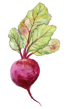 Watercolor Beetroot. Watercolor painting on white background.