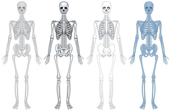 Different diagram of human skeleton