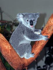 Adorable Baby Koala