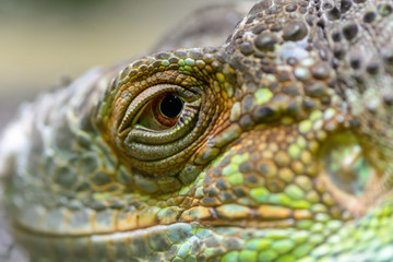 Close-up of the eye of a green iguana. Closeup eye of green igua