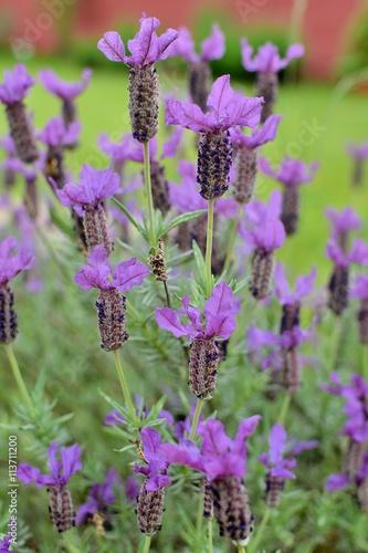 Jolies fleurs de lavande papillon dans un jardin en for Fleurs dans un jardin