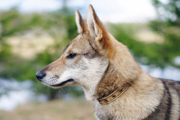The portrait of a young West Siberian Laika dog at nature