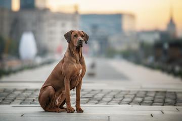 Rhodesian Ridgeback Dog on the wall