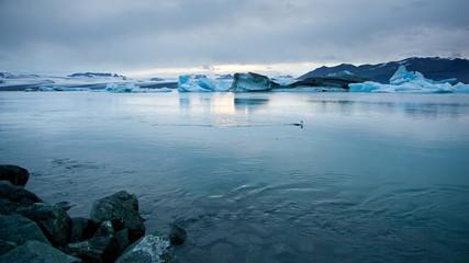 Eider duck in Jokulsarlon glacier lagoon, Iceland