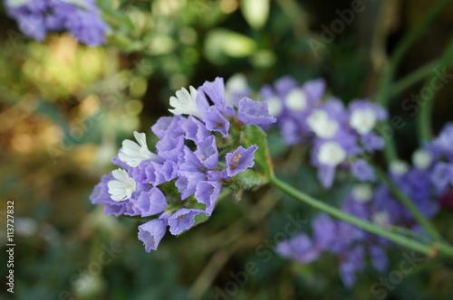 Purple and white statice flowers limonium sinuatum stock photo purple and white statice flowers limonium sinuatum mightylinksfo