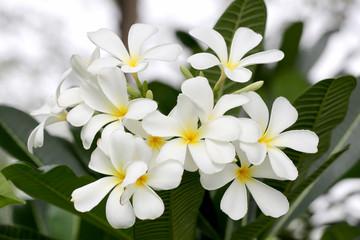 white plumeria or frangipani flower bloom on tree.