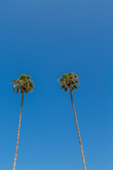 Two Tall Palm Trees on Blue Sky