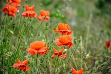 red poppy flowers among the grass
