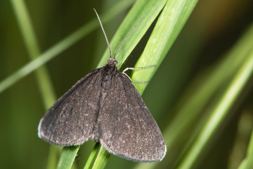 Chimney Sweeper moth (Odezia atrata). Distinctive black day-flying species in the family Geometridae, at rest on grass