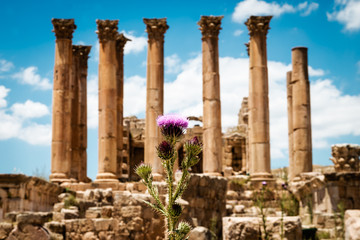 Thistle near the Temple of Artemis in the ancient Roman city of Gerasa,  Jerash, Jordan. Selective focus.