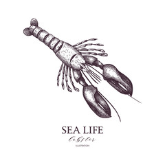 Vector Sea life illustration. Hand drawn Lobster sketch. Isolated on white.