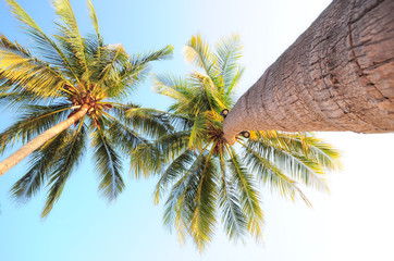 Close-up coconut palm trees from trunk to treetop, happy summer holiday concept and worm's eyes view idea